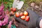 Tulip bulbs — Stock Photo