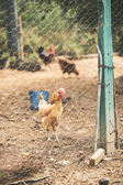 Free range hens — Stock Photo