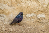 European Starling, Sternis vulgaris  — Stock Photo