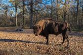 European bison  — Fotografia Stock