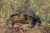 European bog turtle (emys orbicularis) — Foto Stock
