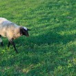 Little lamb in the pasture — Stock Photo #59394479