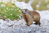 Alpine marmot (Marmota marmota) on rock — Stock Photo