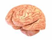 Human brain model, isolated — Stock Photo