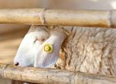 Face of a sheep in a cage — Stock Photo