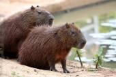 Capybara in the lake — Stock Photo