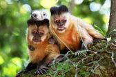 Family of monkeys on the tree branch — Stock Photo
