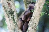 Nail monkey eating leaves — Stock Photo