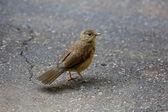地面に鳥 — ストック写真