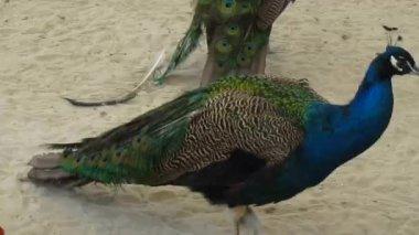 Peacock walking — Stock Video
