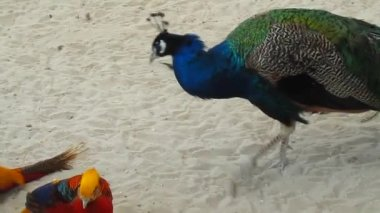 Peacock walking and pecking — Stock Video