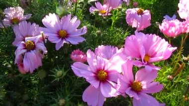Pink cosmos flowers and wind — Stock Video