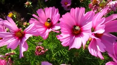 Cosmos flowers and two bumblebees — Stock Video