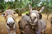 Domestic donkey in the garden — Stock Photo