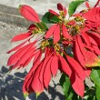 Poinsettia-  Euphorbia pulcherrima — Stock Photo #69738839