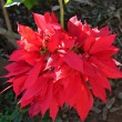 Poinsettia-  Euphorbia pulcherrima — Stock Photo #69739117
