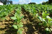 Tobacco field - detail of green  leaves — Stock Photo