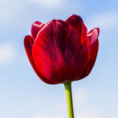 Red Tulip on blue sky — Stock Photo