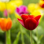 Close-up from a Red tulip flower — Stock Photo