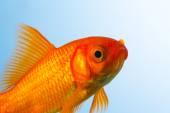 Goldfish close-up — Stock Photo