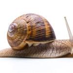 Постер, плакат: Big roman snail