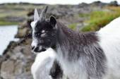 The goat on the mountain pasture — Stock Photo