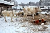 Cows, sheep, chickens in the barnyard in winter — Stock Photo