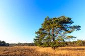 Heath landscape in evening glow in Holland — Stock Photo