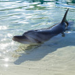 Постер, плакат: Dolphin in captivity