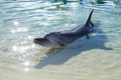 Dolphin in captivity — Stock Photo