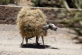 Donkey carrying straw - Draa Valley - Morocco - North Africa — Stock Photo