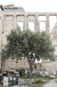 Famous Athena's olive tree (a sacred tree) in front of the Erechtheion on the Acropolis in Athens, Greece — Stockfoto