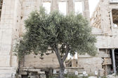 Famous Athena's olive tree (a sacred tree) in front of the Erechtheion on the Acropolis in Athens, Greece — Stock Photo