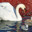 Постер, плакат: Mother Swan And Her Young