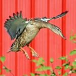 Mallard Duck — Stock Photo #52815163
