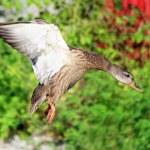 Mallard Duck — Stock Photo #52815173