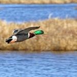 Mallard Duck In Flight — Stock Photo #71691277