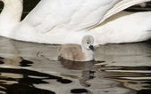 Tiny 3 day old Mute Swan cygnet swimming alongside her mother.  Contrast in size — Stock Photo