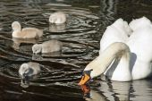 Mute Swan with her young cygnets swimming and dipping their beaks in the water — Stock Photo