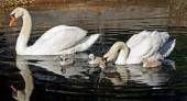 Family of Mute Swans out for a morning swim - Cygnets are 3 days old — Stock Photo