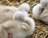 Adorable 5 day old baby Mute swans nestled together cozy and content — Stock Photo