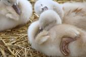 Adorable 5 day old baby Mute swans nestled together cozy and content.  One sibling appears to be having a happy dream — Stock Photo