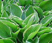 Thick lush green leaves of the Hosta plant  - a garden favorite — Stock Photo