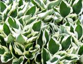 Variegated green and white leaves of the Hosta plant - a garden favorite — Stock Photo