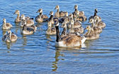 Mother Canada Goose swimming on beautiful blue waters with her 19 Goslings following closely behind — Stock Photo