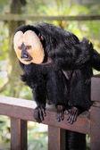 White-faced Saki Monkey (Pithecia pithecia) — Stockfoto
