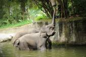 Asian Elephant — Stockfoto