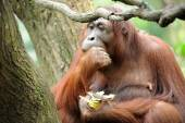 Orangutan eating sugarcane — Stock Photo
