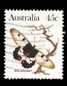Australia stamp shows butterfly Big Greasy — Stock Photo