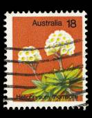 Australia stamp shows image of Helichrysum Thomsonii — Stock Photo
